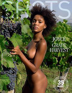 Joyce grape harvest